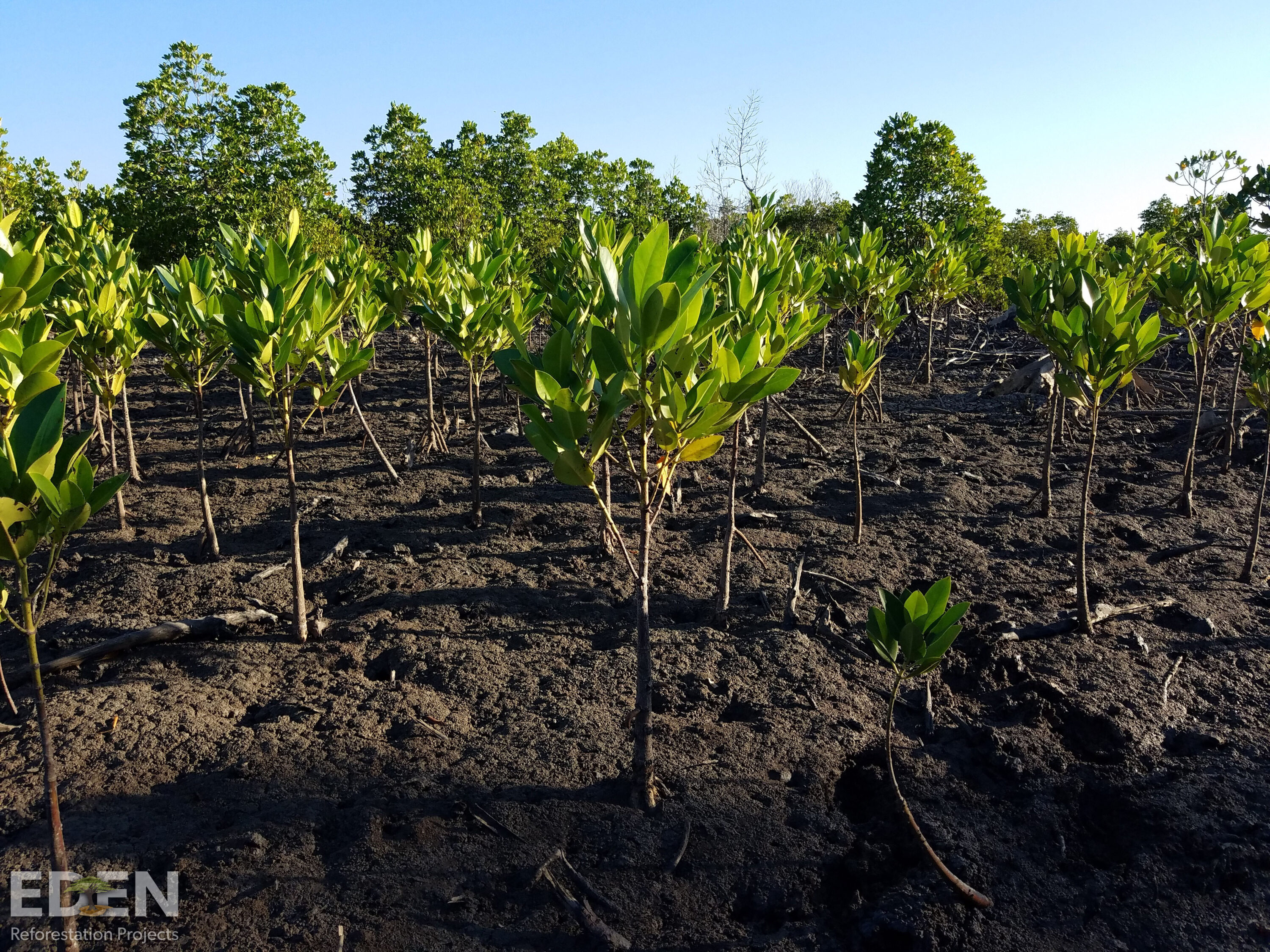 1-year-old Mangroves in Madagascar.