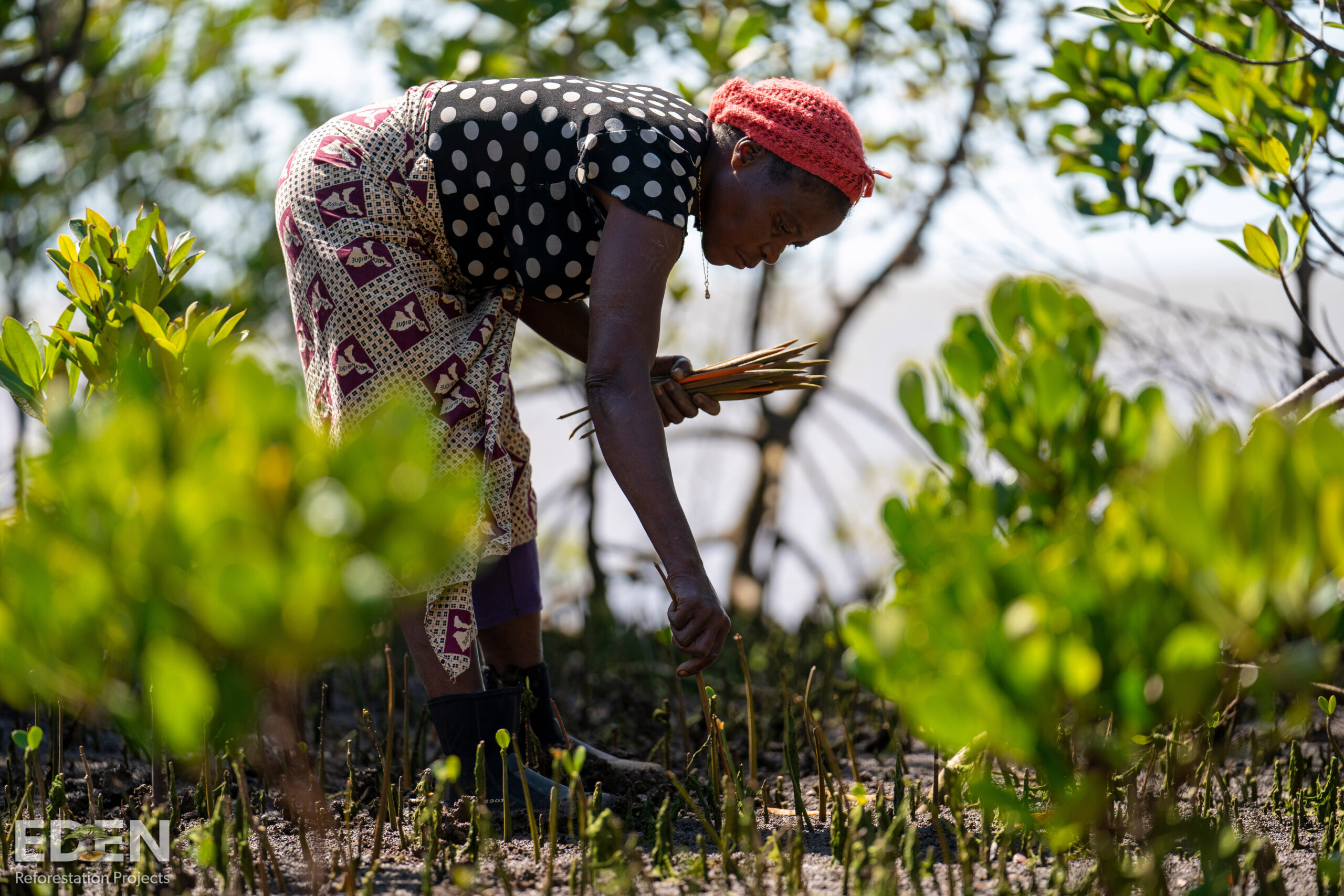 An African woman is planting a tree in Mozambique.