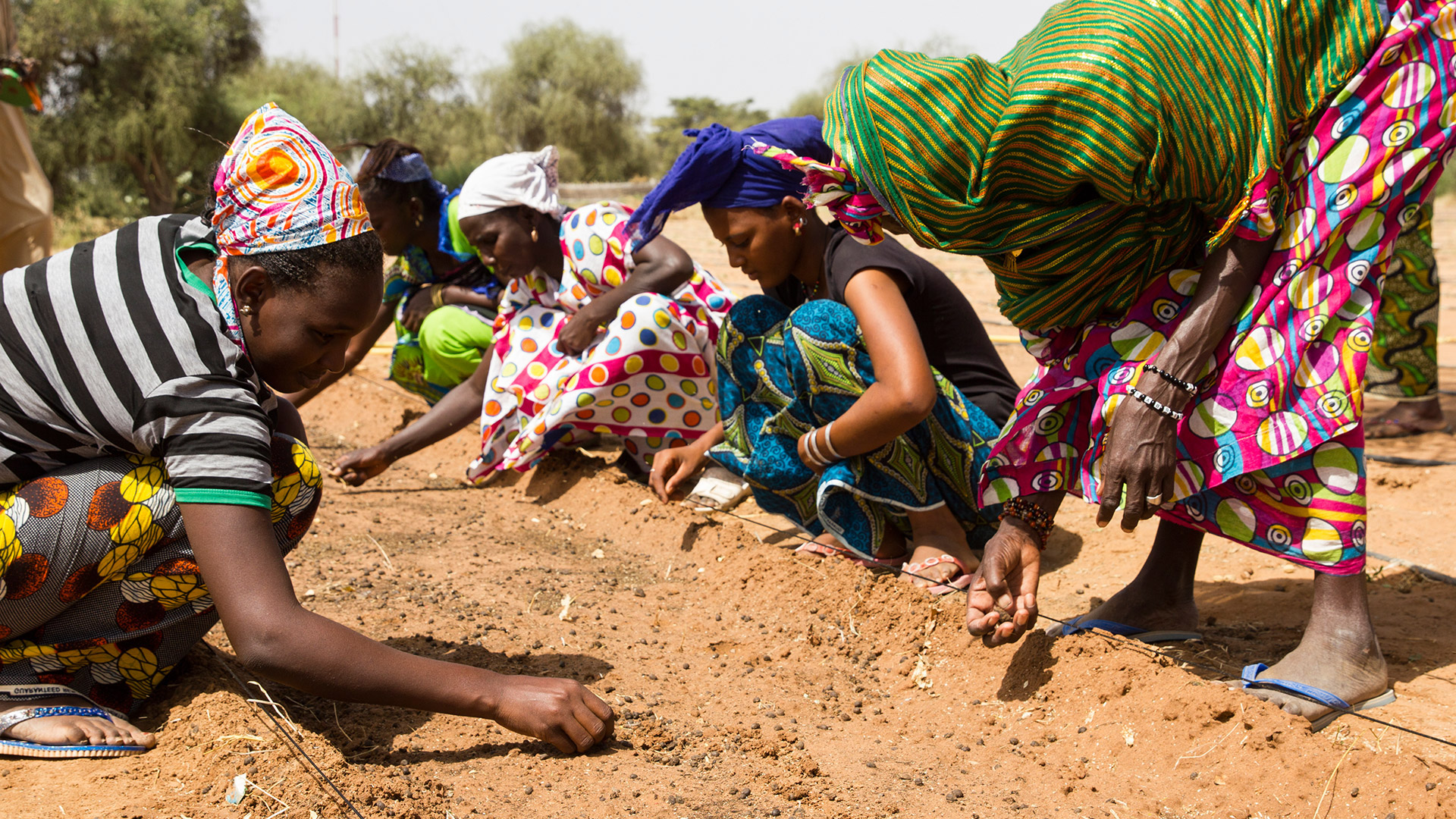 A few people in Africa are bending on the ground and planting saplings in the soil for the Great Green Wall