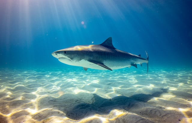 A shark swimming in shallow waters.
