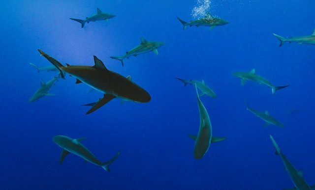 Several sharks swimming in the ocean.