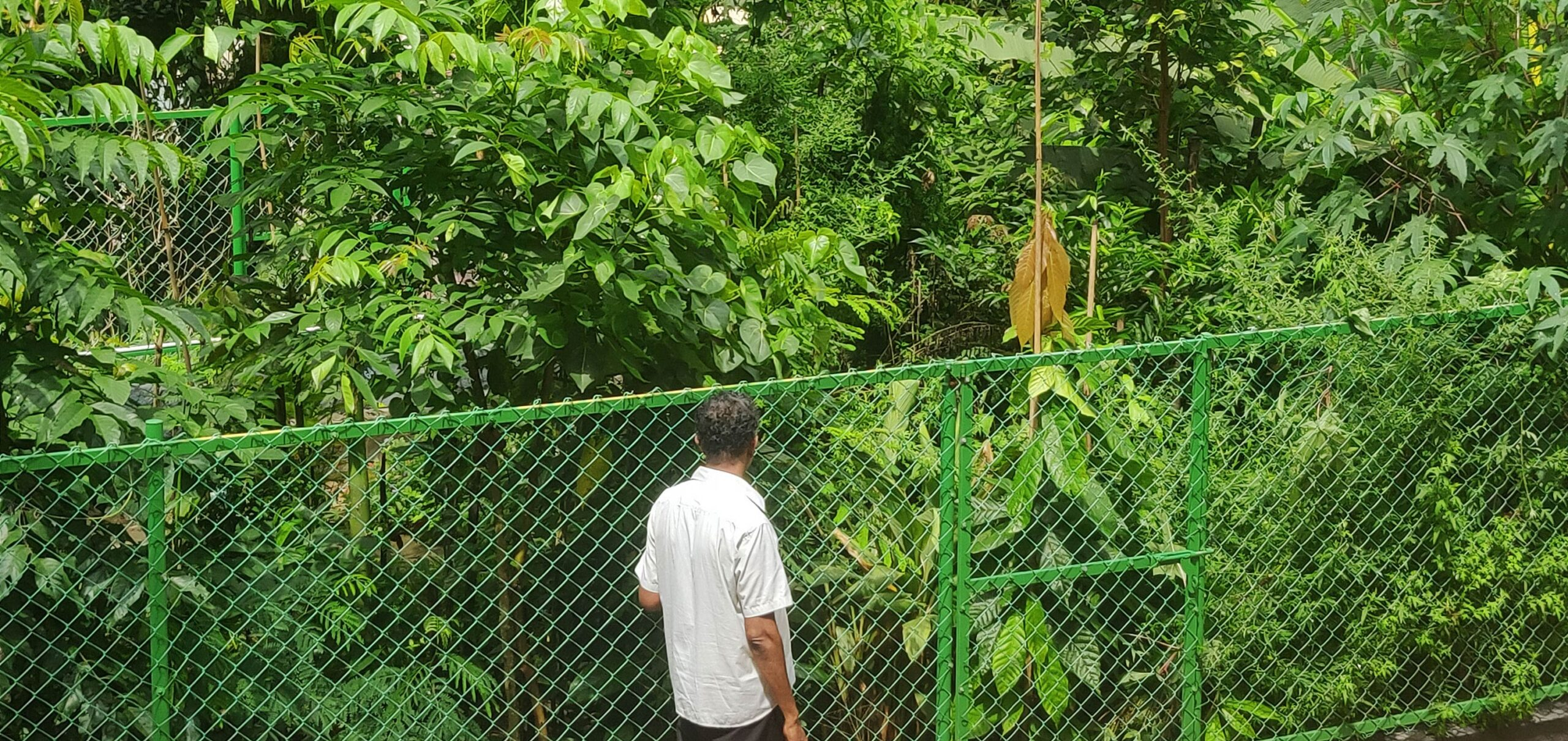A lush green Miyawaki forest 9 onths after it was planted. A man in standing in front of it.